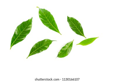 Sampaguita Jasmine green Leaves and flowers isolated on white background