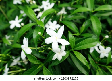 Sampaguita Jasmine are the national flower of Republic of the Philippines