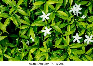 Sampaguita Jasmine, the national flower of Republic of the Philippines.