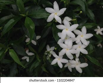Sampaguita Jasmine national tree of Republic of the Philippines, White Sampaguita Jasmine or Arabian Jasmine flowers blossom.