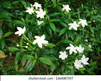 Sampaguita Jasmine national tree of Republic of the Philippines, White Sampaguita Jasmine or Arabian Jasmine flowers blossom with morning light.