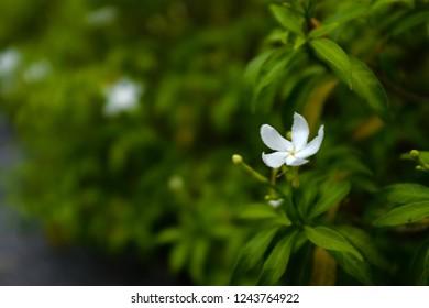 Sampaguita Jasmine white flower on blurred background