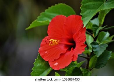 SAMPAGUITA SAMPAGA GUMAMELA FLOWERS