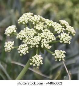 samphire medical plant herb