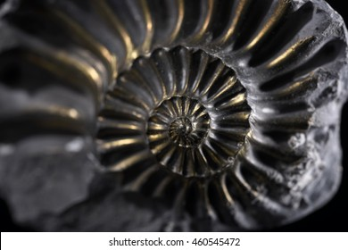 Sample of a beautiful natural raw pyritized ammonite specimen over black background