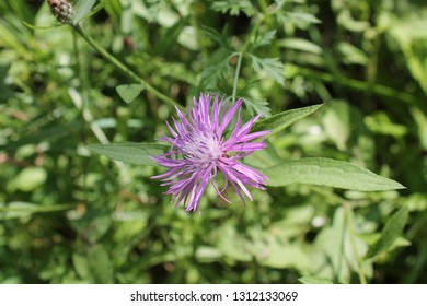 Sample image of Greater Knapweed growing in Ontario Canada.