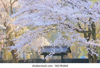 Samurai cherry blossom