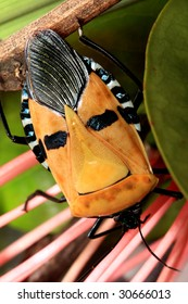 Samurai Faced Stink Bug