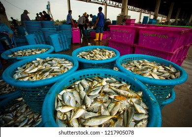 samutsakorn thailand - september8,2018 : worker collecting size and kind of fish was catching from fishery boat at mahachai district important fishery industry outskirt bangkok thailand capital
