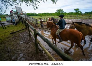 San Antonio de Areco, Argentina - Nov 13, 2016: A young gaucho cowboy riding a horse in a paddock on November 13, 2016 in San Antonio De Areco, Argentina.