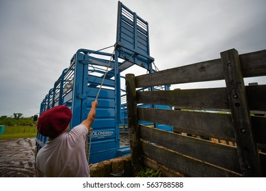 San Antonio de Areco, Argentina - Nov 13, 2016: A gaucho cowboy working with a horse box on November 13, 2016 in San Antonio De Areco, Argentina.