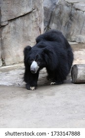 San Diego, CA, USA - June 21 2006: the Sloth Bear is a vulnerable species found on the Indian subcontinent. Its diet consists mainly of insects and it is very territorial. San Diego Zoo.