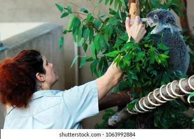 San Diego, CA, USA September 22, 2009 A female Zoologist Feeds a Koala Bear at the San Diego Zoo in California