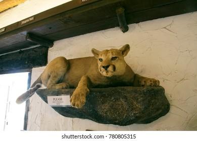 SAN DIEGO, CALIFORNIA - NOV 27, 2017 - Mounted specimen of mountain lion ( Felis concolor )Torrey Pines State Preserve near San Diego, California