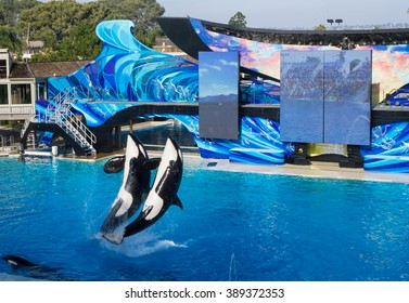 SAN DIEGO, CA/USA - JANUARY 17: Killer whales show in Sea World, San Diego, CA on Jan 17, 2016. It is an oceanarium, and marine mammal park.