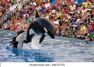 SAN DIEGO, USA - JULY 29, 2009: Killer whale show in Sea World, San Diego, CA. It is an oceanarium, and marine mammal park.