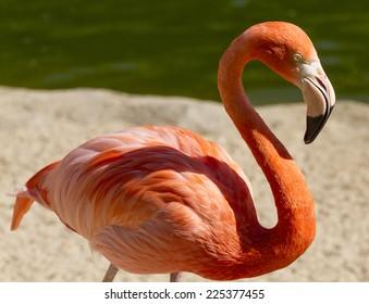 San Diego Zoo, Flamingo