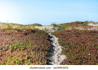 San Francisco, California/USA-2/22/20: Beach view along seaside of the Great Highway showing succulant ice plants, sand grass grows on the Califronia dunes and bluffs