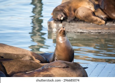 San Francisco sea lions basking in the sun on pier 39