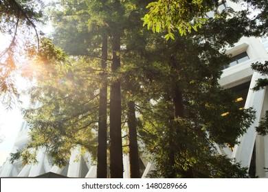 SAN FRANCISCO, USA - November 14, 2018: Sun streams through the trees in  the Transamerica Redwood Park, at the base of architect William Pereira's Transamerica Pyramid Tower.