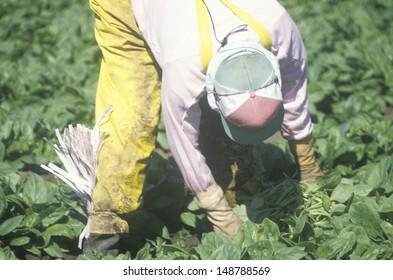 SAN JOAQUIN VALLEY, CA, - CIRCA 1990's: Migrant farmer worker picking tobacco in the San Joaquin Valley, CA