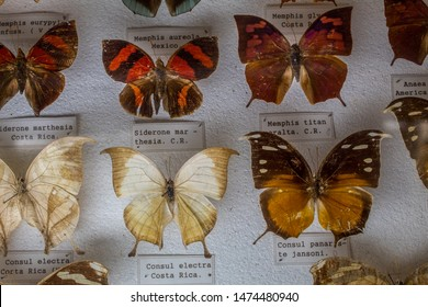 San Jose / Costa Rica - 01.28.2019: An entomological collection of beautiful pinned butterflies (Memphis titan and Consul electra). La Salle Natural History Museum.