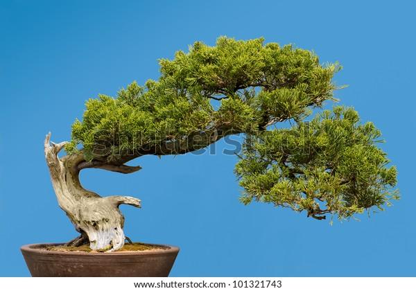San Jose Juniper Juniperus Chinensis San Stock Photo Edit Now 101321743