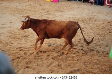 SAN JUAN, HUELVA, SPAIN - JUNE 23: The festival of St. John the Baptist's. Running of the Bulls of San Juan is the most popular celebration in Andalusia on June 23, 2013 in San Juan, Huelva, Spain