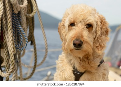 San Juan Islands, Washington State. Goldendoodle (golden retriever, poodle mix) on sailboat, with ropes in background.