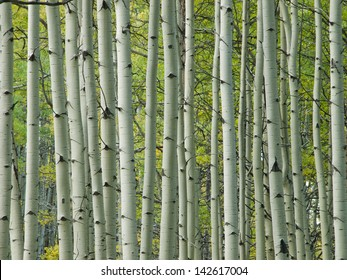 In the san juan range of the Colorado Rocky Mountains, autumn turns aspen trees a golden yellow that contrasts their white trunks.