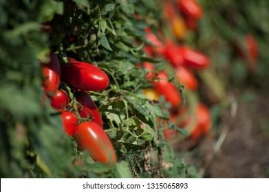 san marzano tomato plant