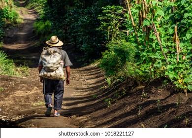 San Miguel Duenas, Guatemala - October 10, 2017: Farm worker walks through coffee plantation in coffee growing area near Antigua, Guatemala, Central America