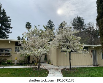 San Rafael, California - USA:  February 11, 2021 - a mid century modern home with two flowering fruit tress and a cloud covered sun