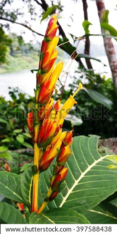 Sanchezia Speciosa Shrub Produces Yellow Tubular Stock Photo Edit