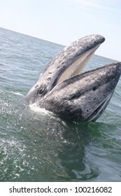 in a sanctuary lagoon in Baja Mexico, a gray Whale appears to be laughing