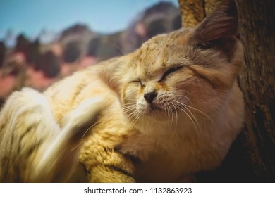 sand cat scratching its ear