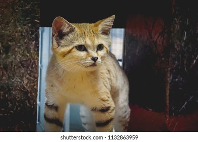 sand cat standing