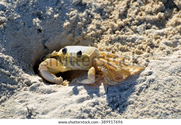 Sand Crab in Hole