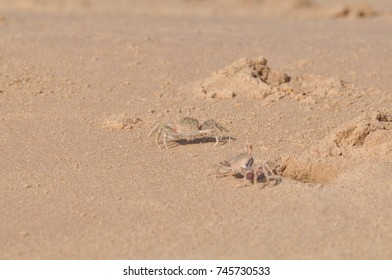 Sand crabs at the beach. In the morning at the beach.