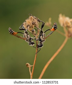 Sand digger wasps resting on the branch
