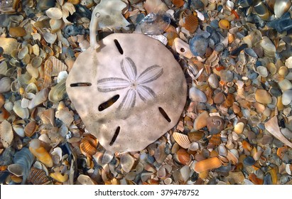 Sand dollar among other sea shells in Florida on the Atlantic side.