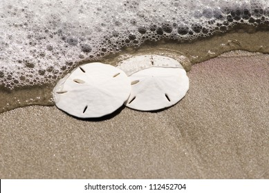 Sand Dollars on the beach with seafoam