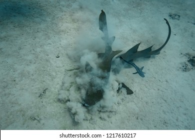 Sand dust flies as two nurse sharks battle for body of sting ray remora fish shies away