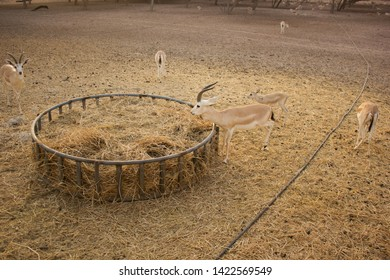 Sand gazelles eat beside a large circular metal structure containing hay on Sir Bani Yas Island, United Arab Emirates.