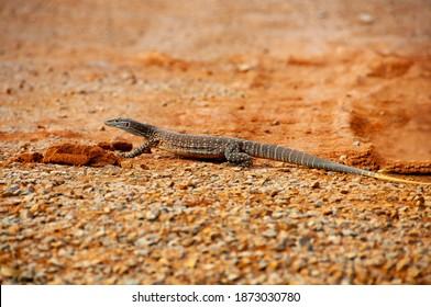 Sand Goanna (Bungarra) - Western Australia