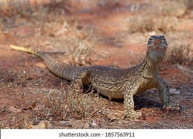 Sand Goanna in NSW Australia outback