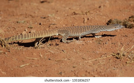 Sand goanna on the road from Alice Springs to Santa Theresa.