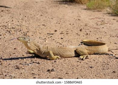Sand goanna in outback Queensland, Australia. Queensland.