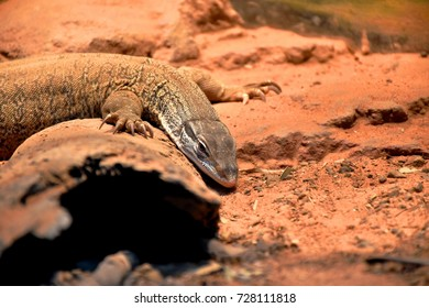 Sand Goanna, Varanus Gouldii, found over most of mainland Australia, from coastal forests to sand desserts, this is the most wide spread and abundant of all 35 Monitor species in Australia