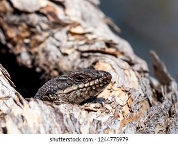 Sand Goanna (Varanus gouldii) peeking out of a tree hollow